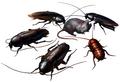 Cockroach (Resident Evil)
