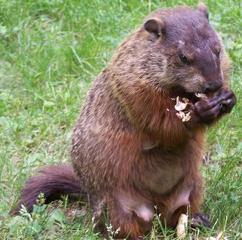 File:Real Life Groundhog.png