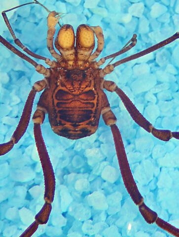 File:MNRJ 19308 Globibunus rubrofemoratus Roewer, 1912 - Loja - macho cropped.jpg