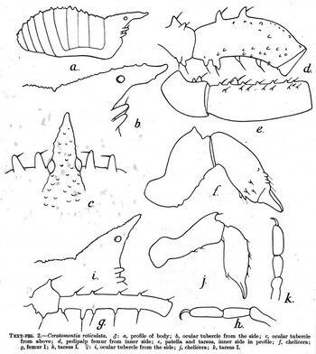 Ceratomontia reticulata