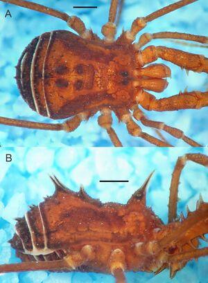 Acumontia succinea Mendes & Kury 2012