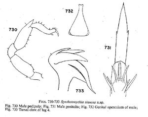 Synthetonychia sinuosa Forster-1954
