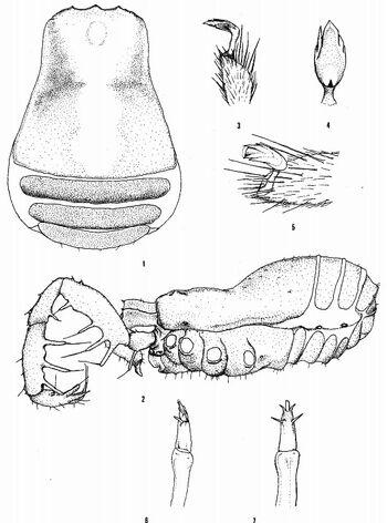 Speleonychia sengeri