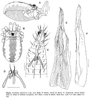 Arrallaba spheniscus h-c-1991