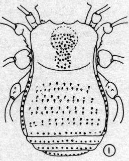 Guasinia delgadoi1