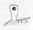 Harmanda elegantulus