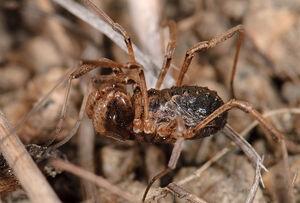 Protolophus singularis male
