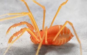 Cyptobunus ungulatus - Model Cave - Hedin cropped