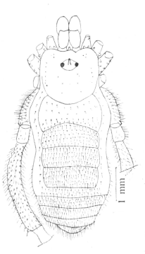 Zalanodius hirsutus S&S 1970
