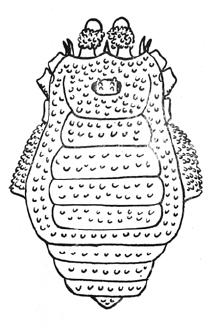 Euwintonius continentalis