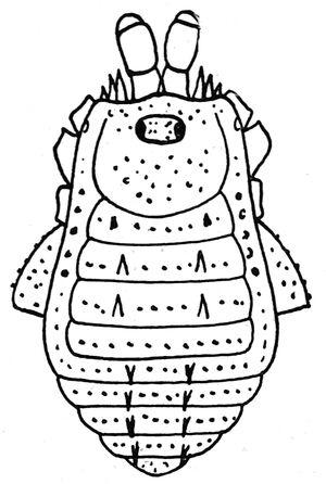 Trionychiperna carli Roewer, 1929e