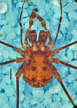 CASENT 9052272 - Heteropodoctis quinquespinosus macho PNG (2)