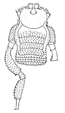 Zalanodius latifemur S&S-1954a