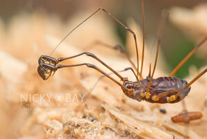 Epedanidae - Singapore by Nicky Bay