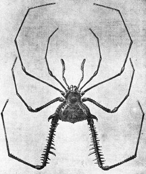 Acanthogonyleptes pictus