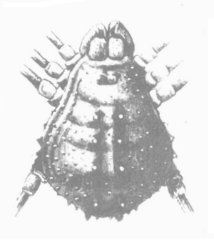 Acantholibita pustulosa Mello-Leitão 1928