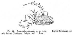 Lundulla bifurcata Roewer-1927a