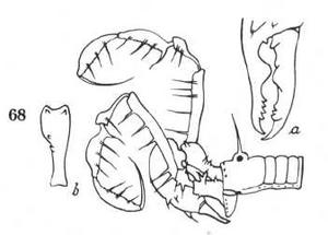 Tegestria sumatrana Roewer-1938b