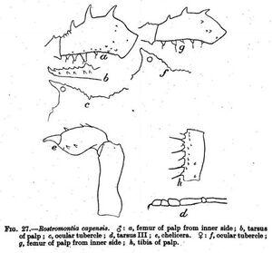 Rostromontia capensis