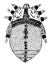 Eugagrella laticlavia