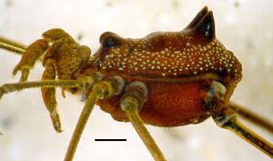 Roquettea peba MNRJ 7080 male holotype hab lab