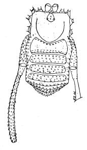Zalanodius obtectispiracula S&S-1954a