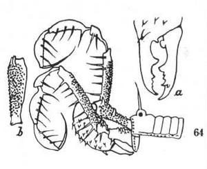Tegestria borneensis Roewer-1938b