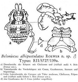 Beloniscus albipustulatus Roewer-1949a