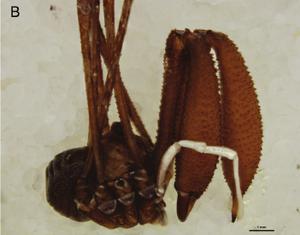 Pantopsalis cheliferoides Colenso-1882-B