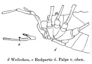 Protolophus longipes 2