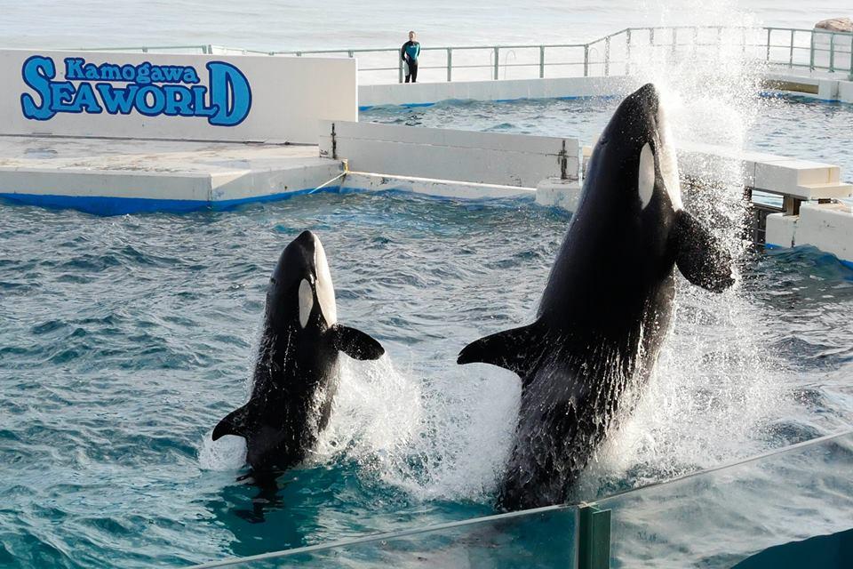 Des nouvelles des orques du sea world kamogawa - Page 2 Latest?cb=20160117052550