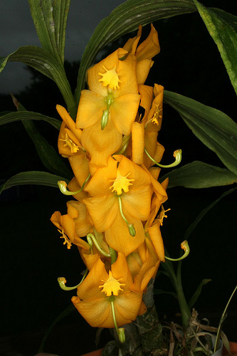 Cycnoches Herrenhusanum Orchids Wiki Fandom Powered By