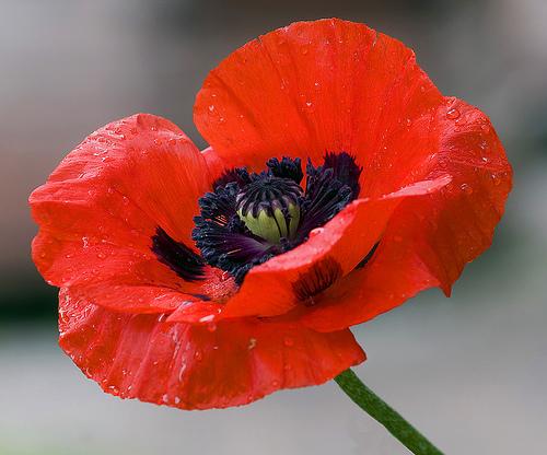 Poppies | Oz Wiki | Fandom powered by Wikia