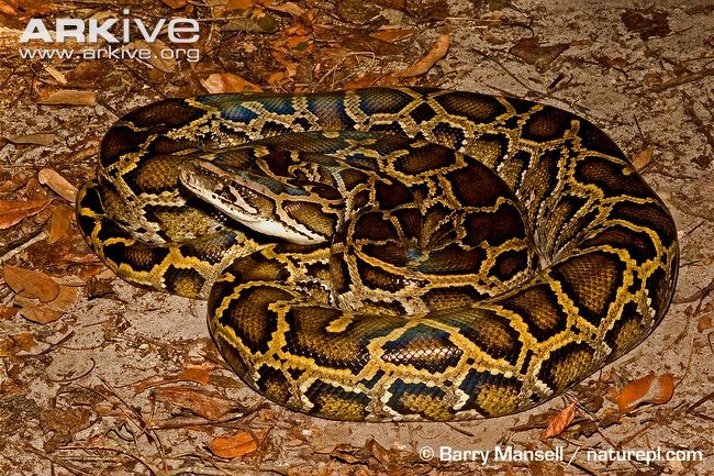african rock python the parody wiki fandom powered by