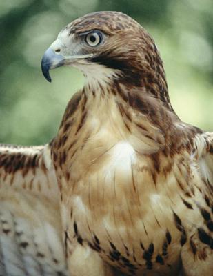 Gtotem hawk