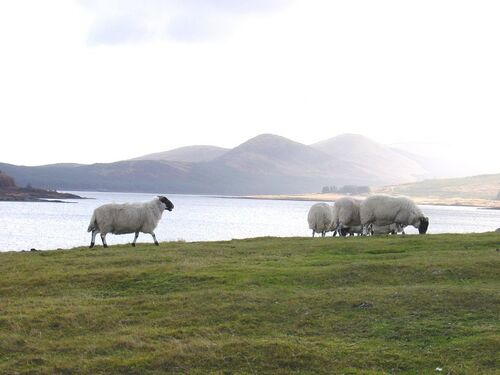 Sheep in beautiful Dalmellington