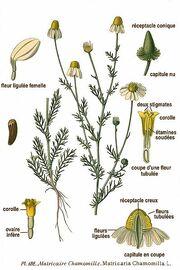 399px-182 Matricaria chamomilla L