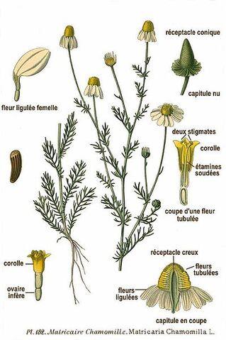 File:399px-182 Matricaria chamomilla L.jpg