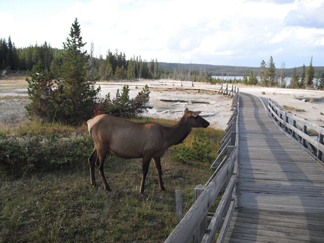 File:Elk at the West Thumb Geyser Basin.jpg