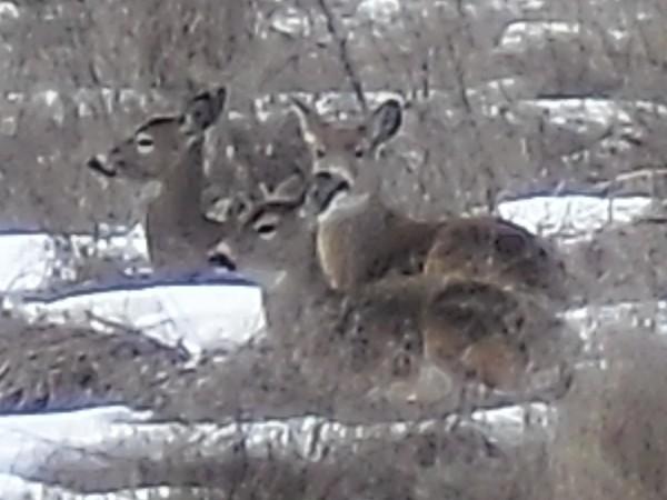File:Deer near Danville.jpg