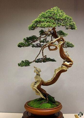 File:08-juniper-bonsai-blasco-paz.jpg