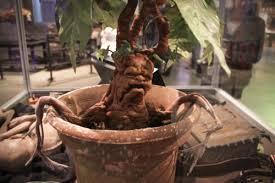 File:Mandrake Plant.jpeg