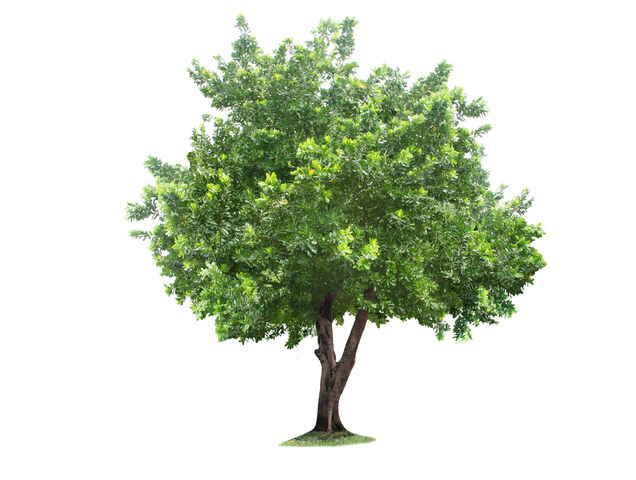 File:FreeGreatPicture.com-1091-tree.jpg