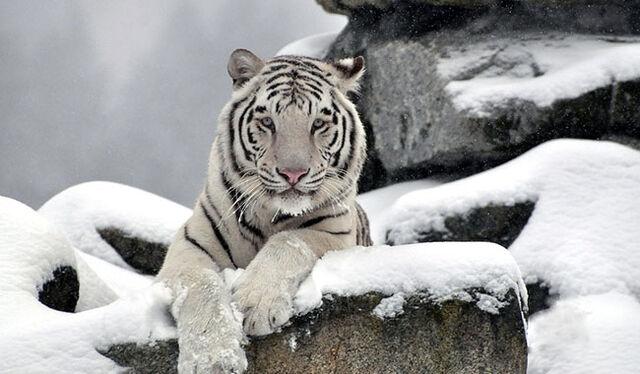 File:White siberian tiger1.jpg