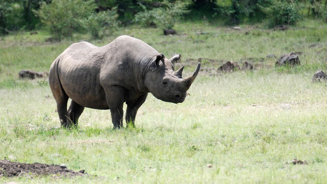 File:Black-rhino gallery 3.jpg