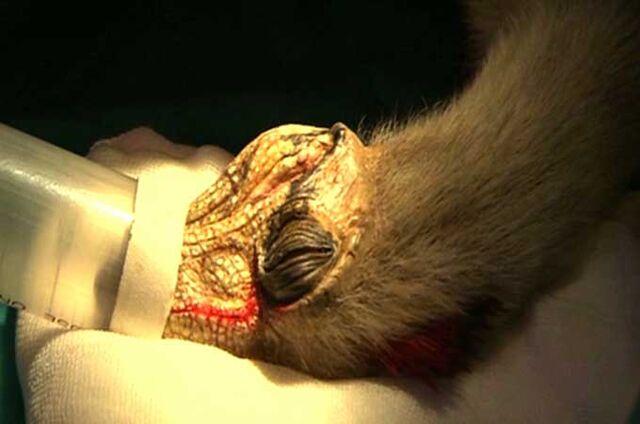 File:Microraptor bbc.jpg