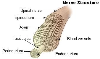 File:Illu nerve structure.jpg