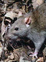 Common brown rat