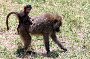 Baby baboon on back