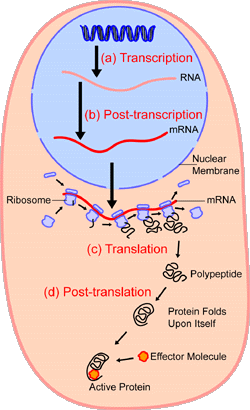 Proteinsynthesis